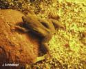 Wabenkröten