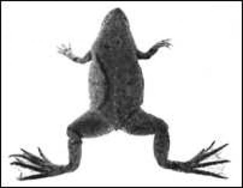Pseudhymenochirus merlini