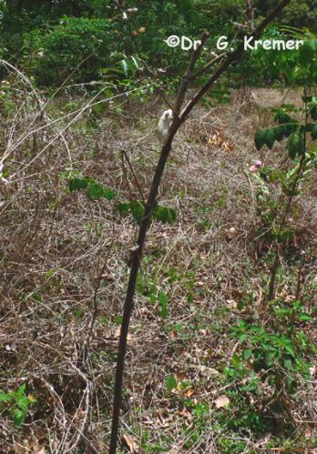 Hyperolius nitidulus