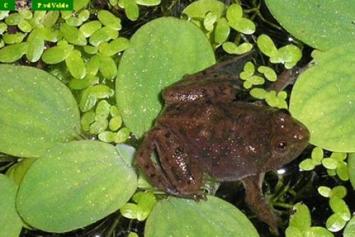 Frosch-4