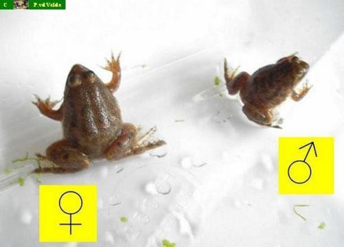 Froschpaar