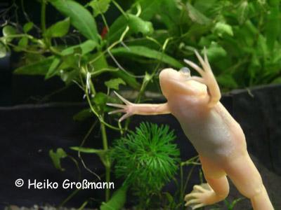 Xenopus laevis Albino