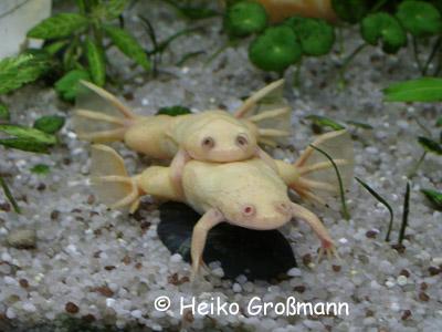 Xenopus laevis Albino Amplexus