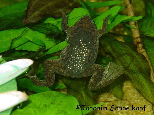 P. parva Weibchen mit Eiern
