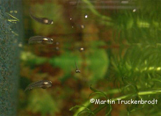 Kaulquappe / tadpole