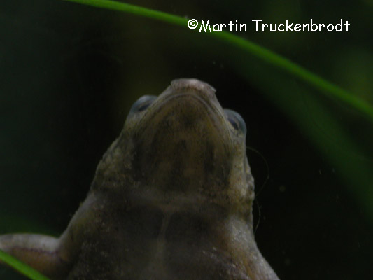 Männchen / male